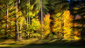 Mixed forest in autumn, abstract, Upper Bavaria, Germany, October.  -  Konrad Wothe