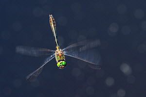 Downy emerald dragonfly (Cordulia aenea) Cordulia arena, Upper Bavaria, Germany. May. - Konrad Wothe