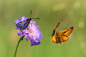 Large skipper butterfly (Ochlodes sylvanus) and Burnet moth (Zygaena sp) at flower, Uppper Bavaria, Germany, June.  -  Konrad Wothe