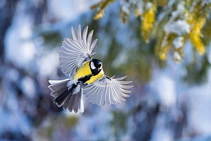 Great tit (Parus major) male in flight, Parus major, winter, Bavaria, Germany, February.  -  Konrad Wothe