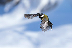 Great tit (Parus major) male in flight,Bavaria, Germany. February.  -  Konrad Wothe
