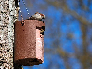 House sparrow (Passer domesticus) pair at nest box, male carrying nesting material, Germany. February.  -  Konrad Wothe
