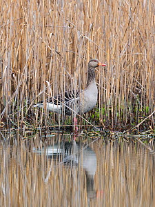 Greylag goose (Anser anser) in reedbed, Bavaria, Germany. April.  -  Konrad Wothe