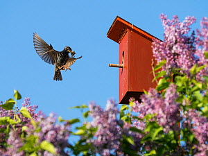 Starling (Sturnus vulgaris) flying to nest box with food in beak, Germany. May.  -  Konrad Wothe