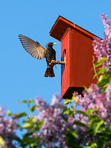 Starling (Sturnus vulgaris) at nest box, Germany. May.  -  Konrad Wothe