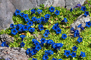 Blue gentian (Gentiana sp) Alps, Central Europe, May.  -  Konrad Wothe