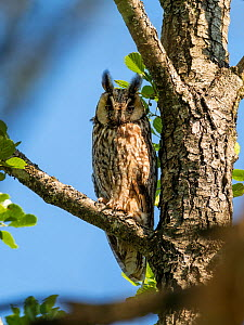 Long-eared owl (Asio otus) in alder tree, Bavaria, Germany, July.  -  Konrad Wothe