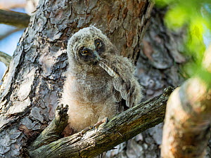 Long-eared owl chick (Asio otus) Bavaria, Germany. July.  -  Konrad Wothe