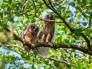 Long-eared owls (Asio otus) in alder tree, Asio otus, Bavaria, Germany, July.  -  Konrad Wothe