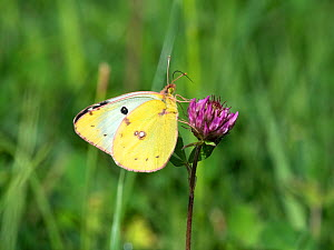 Pale clouded yellow (Colias hyale) female, Bavaria, Germany, August. - Konrad Wothe