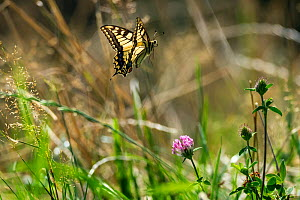 Swallowtail butterfly (Papilio machaon) in flight, Upper Bavaria, Germany, August.  -  Konrad Wothe