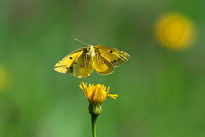Clouded yellow butterfly (Colias crocea) in flight, Upper Bavaria, Germany, August.  -  Konrad Wothe