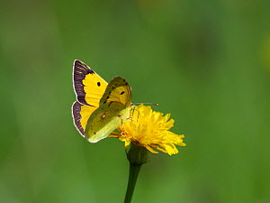 Clouded yellow butterfly (Colias crocea) Upper Bavaria, Germany, August.  -  Konrad Wothe