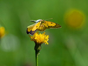 Clouded yellow butterfly (Colias crocera) in flight, Upper Bavaria, Germany, August.  -  Konrad Wothe