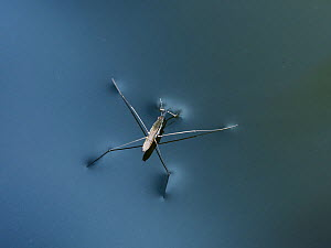 Pond skater (Gerris sp.) on water surface, Germany - Konrad Wothe