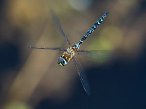 Migrant hawker dragonfly (Aeshna mixta) flying, Baden Wurttemberg, Germany. August.  -  Konrad Wothe
