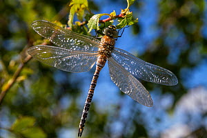 Migrant hawker dragonfly (Aeshna mixta) Upper Bavaria, Germany  -  Konrad Wothe
