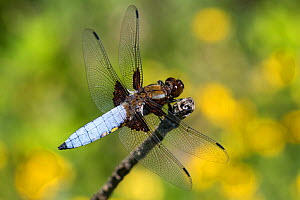 Broad-bodied chaser dragonfly (Libellula depressa) male, France. May.  -  Konrad Wothe