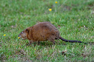 Muskrat (Ondatra zibethicus) foraging in grass, Breton Marsh, Vendee, France, August.  -  Loic Poidevin
