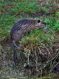 Coypu (Myocastor coypus) foraging in grass, Breton Marsh, Vendee, France, August.  -  Loic Poidevin
