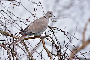 Eurasian collared dove (Streptopelia decaocto) on a branch, Vendee, France, November.  -  Loic Poidevin