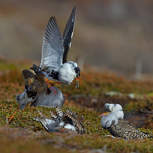 Ruff (Philomachus pugnax) territorial male fighting with satellite males during lek, Varanger, Norway, May  -  Loic Poidevin
