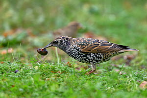 Common starling (Sturnus vulgaris) in grass, feeding on olive, Vendee, France, November  -  Loic Poidevin