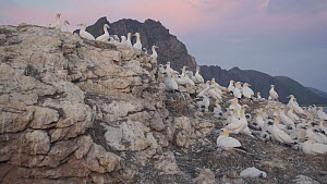Northern gannet (Morus bassanus) colony with the midnight sun in the background, northern Norway, July. - Ismaele Tortella