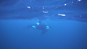 Male Killer whale (Orcinus orca) underwater, northern Norway, November. - Ismaele Tortella