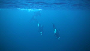 Pod of Killer whales (Orcinus orca) underwater, northern Norway, November. - Ismaele Tortella