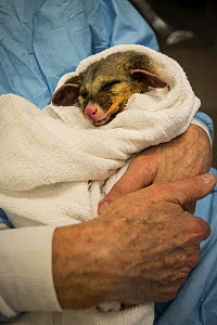 An injured possum in the arms of Dr. Howard Ralph of Southern Cross Wildlife Care, Braidwood, Australia. The possum received expert treatment for severe burns to his tail and paws, sustained in a bush...  -  Jo-Anne McArthur / We Animals