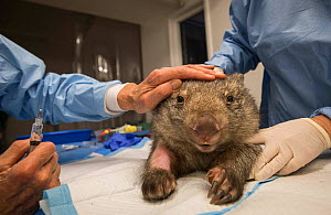 Common wombat (Vombatus ursinus sub-adult treated for a brain injury and various wounds at Southern Cross Wildlife Care, Braidwood, Australia. The wombat was most likely hurt when fleeing a bushfire....  -  Jo-Anne McArthur / We Animals