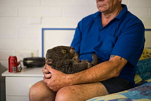 Common wombat (Vombatus ursinus) cared for by the Southern Cross Wildlife Care mobile triage team in Merimbula. A previous vet had treated the wombat for burns sustained in a bushfire and had cut off... - Jo-Anne McArthur / We Animals