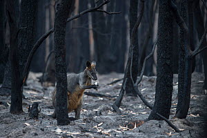 A lone wallaby in a burnt forest in Mallacoota forages for fungi growing from the forest floor. Australia, January 2020  -  Jo-Anne McArthur / We Animals