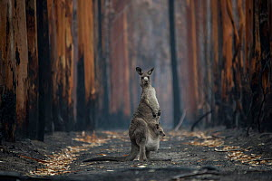 A mother Eastern grey kangaroo (Macropus giganteus) and her joey, surrounded by burnt trees. Survivors of a bushfire in Mallacoota, Australia, January 2020. - Jo-Anne McArthur / We Animals