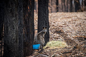 Swamp wallaby (Wallabia bicolor) forages in a forest burnt by a bushfire in the Buchan area, Australia, 2020. A blue water bowl and hay have been left out to help wildlife survivors.  -  Jo-Anne McArthur / We Animals