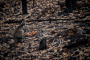 Swamp wallaby (Wallabia bicolor) forages in a forest burnt by a bushfire in the Buchan area, Australia, January 2020  -  Jo-Anne McArthur / We Animals