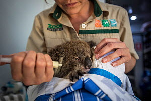 Koala (Phascolarctos cinereus) age ten-months koala receiving treatment at an RSPCA triage site. She lost her mother in a forest fire and her back paws were scorched. She eats browse (leaves) but is s...  -  Jo-Anne McArthur / We Animals