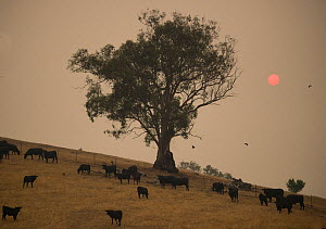 Cows grazing in the Corryong area, Australia. Sun turned red by smoke from bushfires that tore across the south west in January 2020 - Jo-Anne McArthur / We Animals