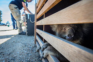 Koala (Phascolarctos cinereus) injured in a bushfire is transported to an RSPCA triage site in Bairnsdale, Victoria, where it will receive treatment for burns as well as smoke inhalation and dehydrati...  -  Jo-Anne McArthur / We Animals