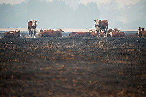 Cows stand on land scorched by bushfire in the Corryong area, Australia. January 2020 - Jo-Anne McArthur / We Animals