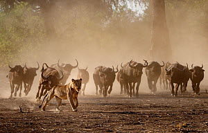 Lion (Panthera leo) chased by a defensive herd of African Buffalo (Syncerus caffer) Mana Pools National Park, Zimbabwe....  -  Tony Heald