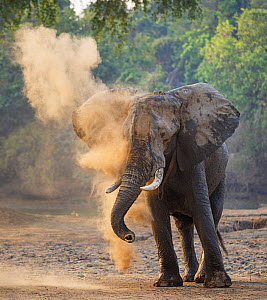 African elephant (Loxodonta africana) dust bathing, Mana Pools National Park, Zimbabwe.  -  Tony Heald