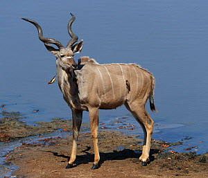 Kudu (Tragelaphus strepsiceros) male, with Yellow-billed oxpecker (Buphagus africanus), Mana Pools National Park, Zimbabwe.  -  Tony Heald