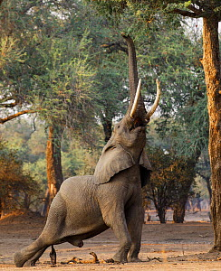 African elephant (Loxodonta africana) reaching up for foliage.  Mana Pools National Park, Zimbabwe.  -  Tony Heald