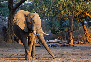 African elephant (Loxodonta africana) picking up acacia seed pods to eat. Mana Pools National Park, Zimbabwe.  -  Tony Heald