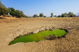 Waterhole within a dried up pool during a drought period covered with algae. Mana Pools National Park, Zimbabwe.  -  Tony Heald