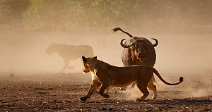 Lion (Panthera leo) moving away from a defensive African buffalo   (Syncerus caffer) Mana Pools National Park, Zimbabwe.  -  Tony Heald