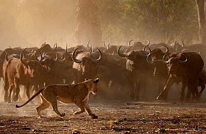 African buffalo (Syncerus caffer) herd showing defensive behaviour as an African lioness (Panthera leo) walks by, Mana Pools National Park, Zimbabwe. September....  -  Tony Heald