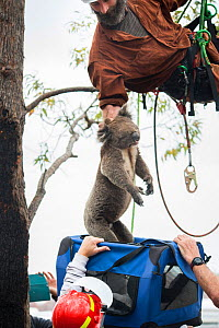 A skinny and dehydrated Koala (Phascolarctos cinereus) who has been darted with a sedative is captured and lowered from a tree for immediate veterinary care. The koala was rescued from a forest that w... - Jo-Anne McArthur / We Animals